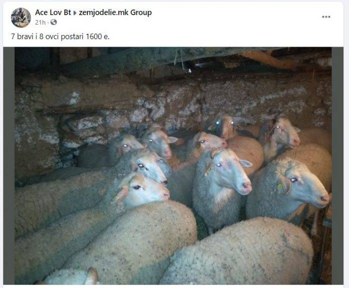 овци-се-продава-група