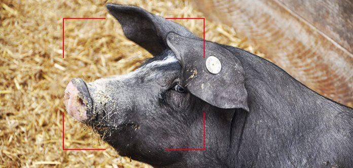 одгледување свињи