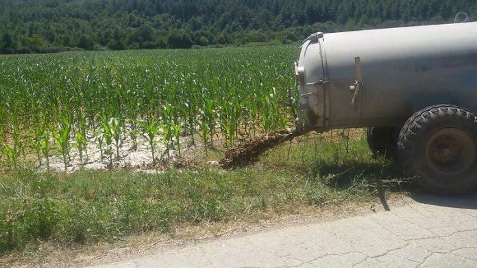 Наѓубрување на пченка