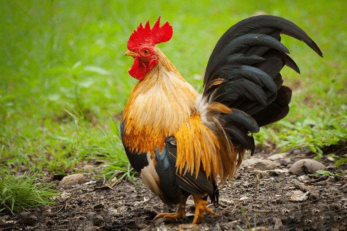 Серами кокошки