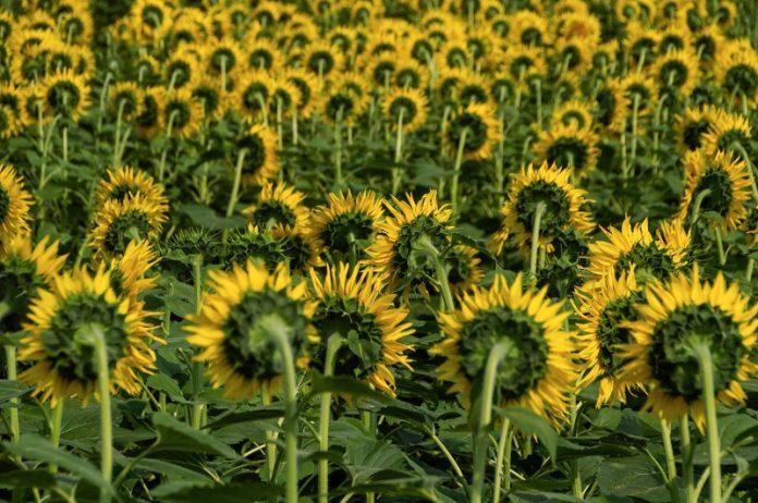 Заштита на сончогледот