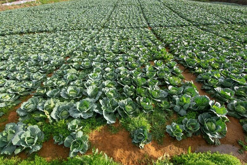 посевите од зелка