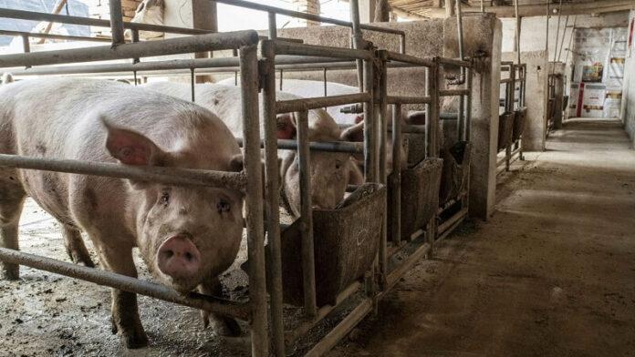 цените на свињите