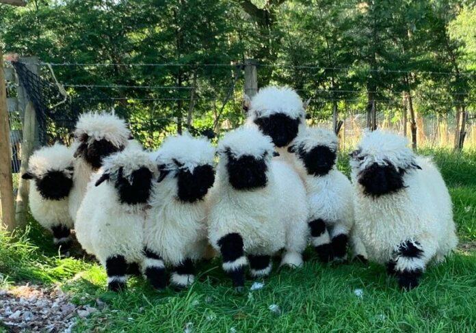 Валиски овци