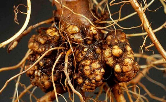 Рак на коренот