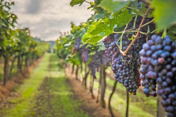 зреењето на грозјето