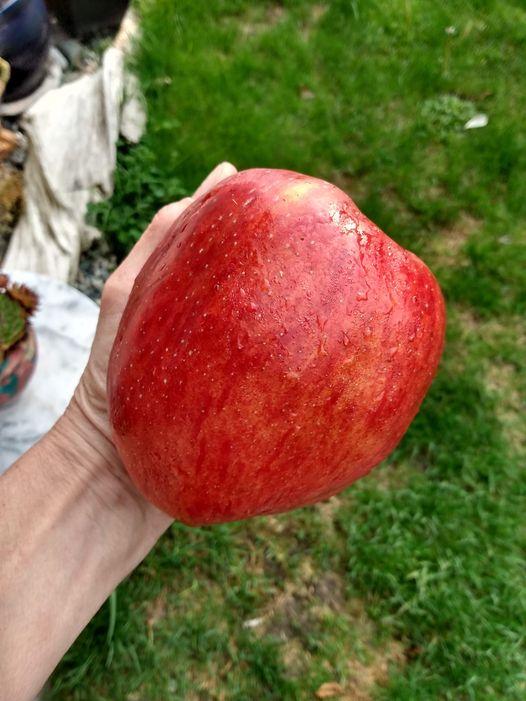 Најголемото јаболко на светот